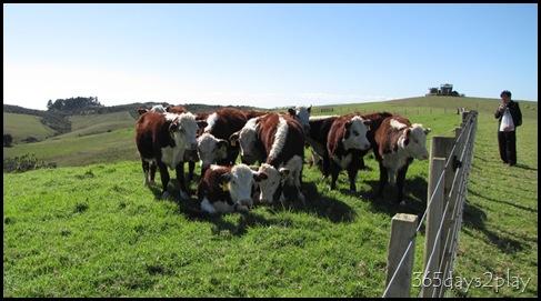 Shakespear Park - Cows (2)