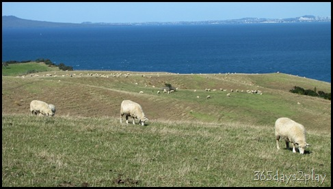 Shakespear Park - Sheep Grazing (2)