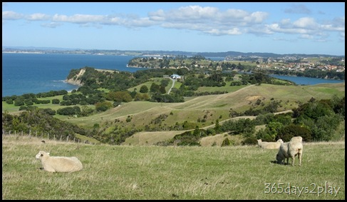 Shakespear Park - Sheep Grazing (3)