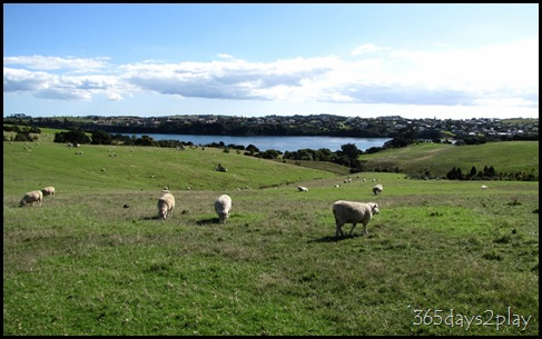 Shakespear Park - Sheep Grazing